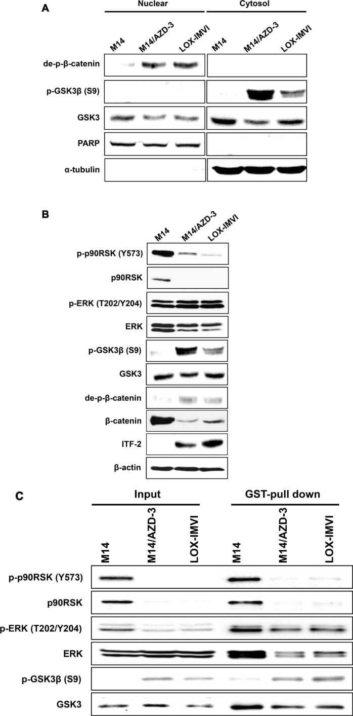 ITF-2 induction by activation of Wnt signaling pathway ( A ) Western blot analysis for Wnt/β-catenin signaling proteins demonstrated that dephosphorylated β-catenin was translocated to the nucleus and phosphorylated Ser9 of GSK3β was accumulated in cytosol fraction in AZD6244 resistant cell lines (M14/AZD-3 and LOX-IMVI). ( B ) Western blot analysis showed that the p90RSK was downregulated in AZD6244 resistant cell lines. ( C ) GST pull-down assay using pGEX-GSK3β and Glutathione-Sepharose 4B (GST) beads demonstrated the direct interaction of p-ERK and GSK3β and phosphorylation of GSK3β at Ser9 in AZD6244 resistant cell lines (M14/AZD-3 and LOX-IMVI).