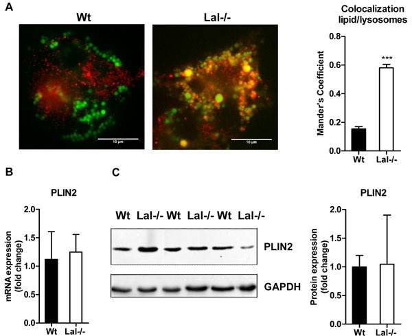 Lysosomal accumulation of lipids in Lal-/- macrophages A . Immunofluorescence staining of Wt and Lal-/- macrophages using BODIPY493/503 as neutral lipid dye and Cathepsin D as lysosomal marker. Co-localization analysis was performed using Mander's coefficient ( n = 4-5) + SEM. B . mRNA and C . protein expression of the LD marker PLIN2, normalized to the expression of B . cyclophilin and C . GAPDH. Data are shown as means + SD ( n = 3-4). *** p ≤ 0.001.