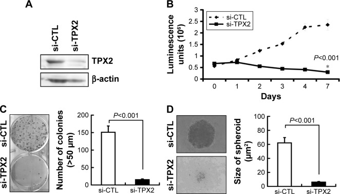 Inhibition of cell growth and reduction of tumorigenesis in human prostate cancer cell lines via TPX2 silencing. Notes: Scrambled siRNA (20 nM, si-CTL) or the siRNA oligos pool against TPX2 (20 nM, si-TPX2) was transfected into human prostate cancer cells (PPC1) for 72 h. ( A ) Cells were harvested and lysed for immunoblotting to determine the protein levels of TPX2. β-actin was used as a loading control. Protein expression was quantified by densitometric analysis. The ratios (TPX2/β-actin) of band intensities are shown. ( B ) Cell viability was measured using the CellTiter-Glo Luminescent Cell Viability Assay, and the luminescence units indicating cell growth were measured and plotted as the growth curve. ( * The cell growth was inhibition in si-TPX2 treated cells compared with si-CTL treated cells). ( C ) Representative data and quantitative results of siRNA-transfected cells that were seeded in six-well plates for the clonogenic assay. ( D ) Representative data and quantitative results of siRNA-transfected cells that were seeded in ultralow attachment 96-well microplates for spheroid formation assays. All representative graphs are from three independent experiments. Values are presented as mean ± SD (Student's t -test, P