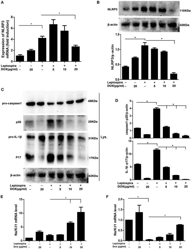 Doxycycline suppressed NLRP3 inflammasome priming with upregulation of the expression of the Na/Kβ1 subunit during leptospira infection. The expression of NLRP3 mRNA (A) in sonicated leptospira-infected J774A.1 cells was analyzed by quantitative real-time polymerase chain reaction (qRT-PCR). The mRNA levels of NLRP3 in J774A.1 cells were normalized to the expression of the housekeeping gene GAPDH. The expression of NLRP3 protein (B) , the activation of caspase-1, and the release of mature IL-1β in cell extracts (Lysate) (C,D) were analyzed by western blot. The β-Actin protein was used as a control. The expression of Na/Kβ1 subunit mRNA was analyzed by qRT-PCR in sonicated (E) and live (F) leptospira-infected J774A.1 cells. The mRNA levels of Na/Kβ1 subunit in J774A.1 cells were normalized to the expression of the housekeeping gene GAPDH. All bars show the mean ± SD of three independent experiments and analyzed by the one-way ANOVA. * p