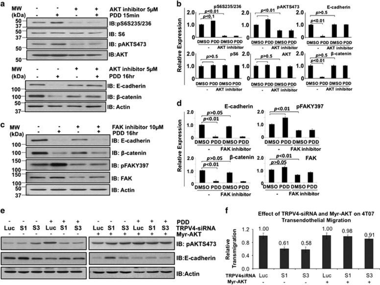 Investigating AKT and FAK as potential mediators of TRPV4-mediated downregulation of E-cadherin and β-catenin expression. Cells were pre-treated or not with 5 μ m of AKT inhibitor IV ( a and b ) or 10 μ m of FAK inhibitor ( c and d ) for 1 h before stimulation with 10 μ m 4α-PDD for 15 min or 16 h as shown. Lysates were then probed with the indicated antibodies. Actin was used as a loading control. The levels of each protein shown in the bar charts were expressed using Actin as the denominator. ( e ) Effects of constitutively active AKT on Trpv4 siRNA-mediated downregulation of E-cadherin expression. ( f ) 4T07 cells transfected with Luc or Trpv4 siRNAs were overexpressed with or without Myr-AKT. 48 h post-transfection, cells were subject to transendothelial migration assay over a time course of 8 h duration. Data points represent mean±s.e.m. of three independent experiments.