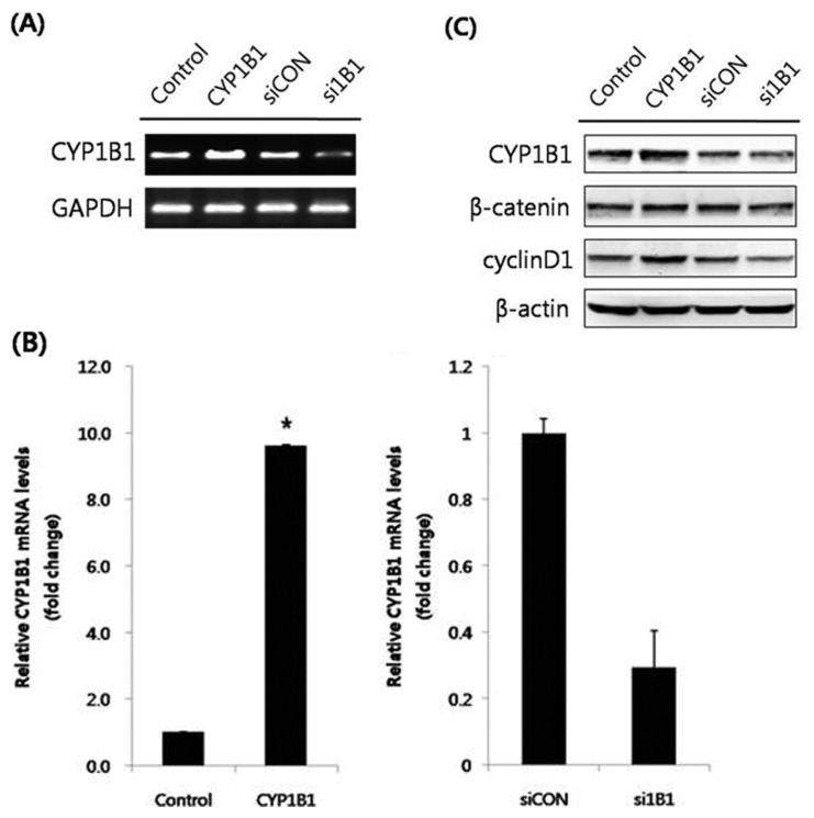 CYP1B1 promotes the protein expression levels of β-catenin and cyclin D1 in HeLa cells. (A) RT-PCR analyses. HeLa cells were transfected with pcDNA3.1(zeo)-CYP1B1 (5 μg) or CYP1B1 specific siRNA (40 nM) for 48 hr. After RNA isolation, gene amplification of CYP1B1 was conducted. GAPDH mRNA was determined as a control. (B) Quantitative PCR analyses. Total RNA was isolated and qPCR for CYP1B1 was performed in triplicate. Data were normalized to the GAPDH value. The data represent mean ± SD. * p ≤0.05. (C) Western blot analyses. The cells were transfected with pcDNA 3.1(zeo)-CYP1B1 (5 μg) or CYP1B1 specific siRNA (40 nM). After stabilization for 48 hr, total protein was isolated from cell lysates, and the protein expression levels of CYP1B1, β-catenin, and cyclin D1 were measured. β-Actin was used as an internal loading control. Empty vector (pcDNA3.1(zeo))-transfected group was represented as control and CYP1B1-overexpressed group was represented as CYP1B1 in figures. Scrambled siRNA-transfected group was represented as siCON while CYP1B1 specific siRNA-transfected group was represented as si1B1 in figures.