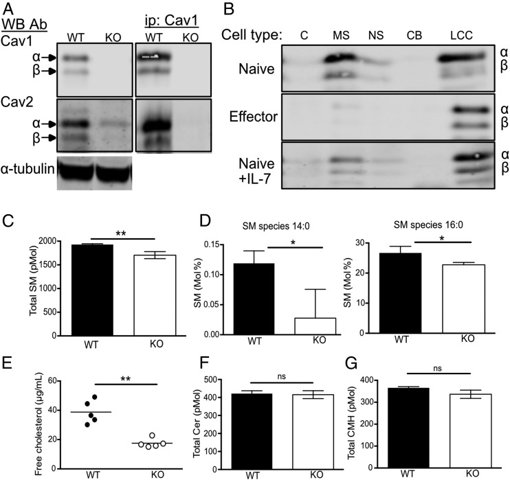 Cav1 is localized within soluble and insoluble membrane fractions and regulates cholesterol and lipid composition. ( A ) Cav1 and Cav2 protein expression was compared between WT and Cav1-KO CD8 T cell lysates by Western blot with anti-Cav1 and Cav2 Ab. Cell lysates were immunoprecipitated with anti-Cav1 and Western blots were probed sequentially with anti-Cav1 and Cav2 Ab. ( B ) Cell lysates were separated into subcellular fractions (C, cytoplasmic; MS, membrane soluble; NS, nuclear soluble; CB, chromatin bound; LCC, lipid-cytoskeletal complexes) and analyzed by Western blot with anti-Cav1 Ab. ( C ) Total sphingomyelin content in WT versus Cav1-KO CD8 T cells. ( D ) Sphingomyelin species 14:0 and 16:0 are represented as a percentage of total sphingomyelin. ( E ) Free cholesterol from WT and Cav1-KO CD8 T cells is representative of one of three independent experiments from a total of 12 biological samples of each genotype. ( F ) Total ceramide and ( G ) ceramide monohexamide content. Lipidomics data are pooled from three biological repeats. Data are shown as mean + SD. * p ≤ 0.05, ** p ≤ 0.01 (Student t test). ns, not significant.