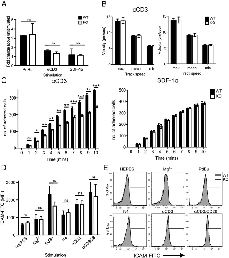 Impaired adhesion to ICAM-1 under conditions of fluid shear stress in the absence of Cav1. ( A ) Static adhesion of WT (filled bars) versus Cav1-KO (open bars) CD8 T cells to ICAM-1. CD8 T cells were stimulated with 50 nM PdBu, 1 μg/ml anti-CD3 Ab, or 5 μg/ml SDF-1α before the start of the assay. Fluid shear flow rates were set at 0.3 dyne/cm 2 . ( B ) Rolling rates of the cells were analyzed in parallel with ( C ) the number of adherent cells. Data are shown as mean ± SEM of data pooled from two independent experiments, each performed in triplicate on two mice per group. * p ≤ 0.05, ** p ≤ 0.01, *** p ≤ 0.001 (Student t test). ( D ) Cav1-WT or Cav1-KO OT-1 CD8 T cells were incubated for 30 min with chimeric ICAM-1 in HEPES buffer alone or supplemented with 100 nM Mg 2+ , or stimulated with PdBu, N4 peptide, anti-CD3, or anti-CD3 plus anti-CD28, as indicated. ICAM-1 bound to T cells was detected by staining with human IgG-FITC. ICAM-1 MFI ± SEM from one of three independent experiments. ( E ) Representative histograms from each condition, as indicated. ns, not significant.