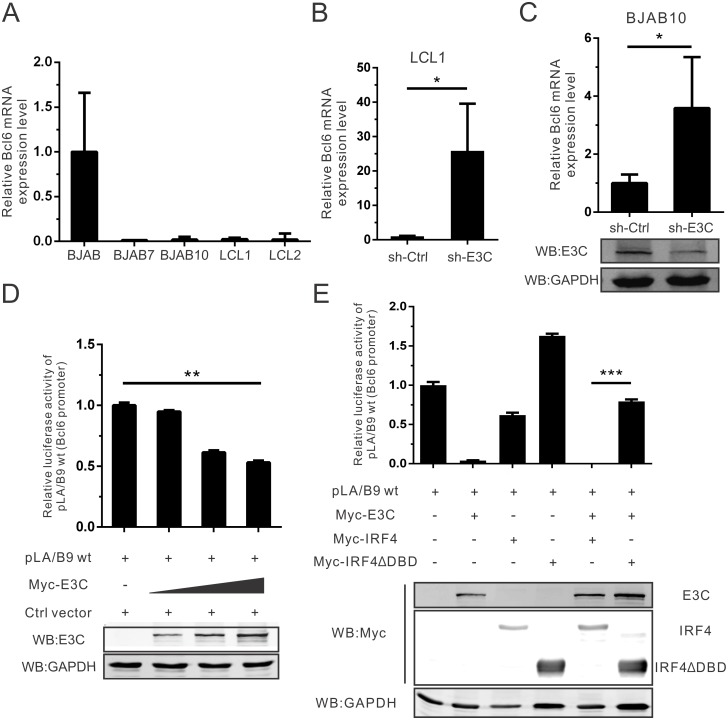 EBNA3C regulates Bcl6 mRNA expression through inhibition of its promoter activity. A) 5 million BJAB, BJAB7, BJAB10, LCL1 and LCL2 cells were harvested and extracted total <t>RNA</t> using <t>Trizol</t> reagent. Then cDNA was prepared with reverse transcriptase kit, and detected Bcl6 mRNA expression by quantitative Real-time PCR analysis (SYBR green). GAPDH was set as an internal reference. Each sample was determined in triplicate. B) EBNA3C knock-down (sh-E3C) stable LCL1 or control (sh-Ctrl) LCL1 cells were harvested and Bcl6 mRNA expression was detected using Real-time PCR as mentioned. C) 10 million BJAB10 cells were transfected with specific EBNA3C (sh-E3C) or control (sh-Ctrl) short hairpin RNA. At 48 hours post-transfection, total RNA was extracted, reverse-transcribed, followed by quantitative Real-time PCR analysis. Meanwhile, EBNA3C expression was also detected by western blot analysis. D) HEK293T cells were transfected with the reporter constructs containing wild-type Bcl6 promoter (pLA/B9) and increasing amount of Myc-EBNA3C. Cells were collected and lysed in lysis buffer at 48 hours post-transfection. Luciferase activity was measured according to the dual-luciferase reporter assay kit. Mean values and standard deviations of two independent experiments were presented. Cell lysate was resolved by 10% SDS-PAGE in order to check EBNA3C expression. GAPDH western blot was done as an internal loading control. E) HEK293T cells were transfected with wild-type Bcl6 promoter reporter plasmids in combination with different expression constructs as indicated. Cells were collected and lysed, then the lysate were used to detect luciferase activity as previously described.