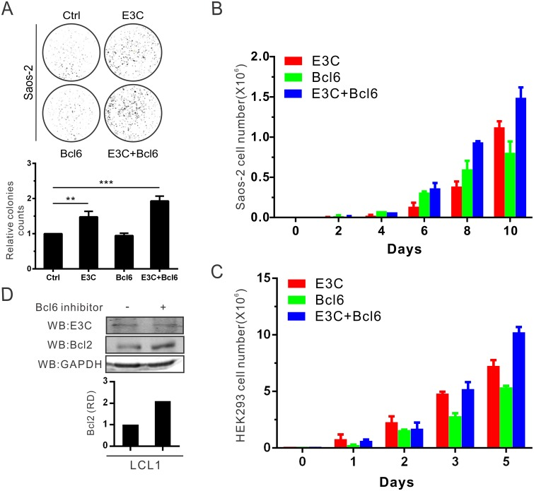 EBNA3C promotes cellular proliferation by upregulating Bcl6-targeted Bcl2 expression. A) Saos-2 cells were transfected with the indicated plasmids in combination with the GFP vector and selected with G418 antibiotic for 2 weeks. The GFP fluorescence of each plate was scanned by PhosphorImager and the colonies were calculated by Image J software. B) 10 5 selected cells from the former experiment were plated and cultured for 10 days. Viable cells were counted at the indicated time using trypan blue staining. C) HEK293 cells were transfected, selected and counted the numbers. D) 10 million LCL1 cells were treated with 50 μg/ml (110 μM) Bcl6 inhibitor for 15 hours. Then cells were harvested, and western blot analysis was performed with indicated antibodies. These results shown are representative of three independent experiments.