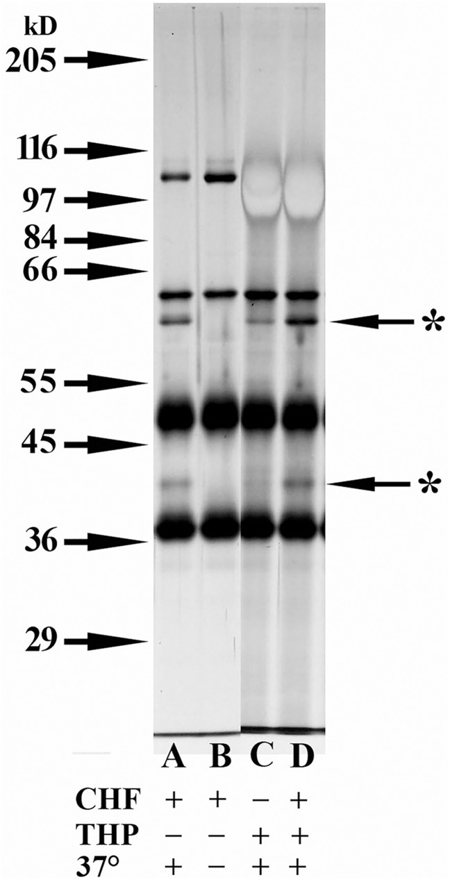 Cofactor activity present in samples with THP, but without CFH. Silver-stained 8% SDS-PAGE gel where all samples were reduced with 3% ß-mercaptoethanol. Samples analyzed in all lanes contained 125 ng C3b and 500 ng CFI. Lanes A, B, and D contained 0.5 ng CFH. Lanes C and D contained 5 μg THP. Lanes A, C, and D were incubated at 37°C for 30 min, while Lane B sample was kept at 4°C. Starred arrows indicate the degradation products of C3b.