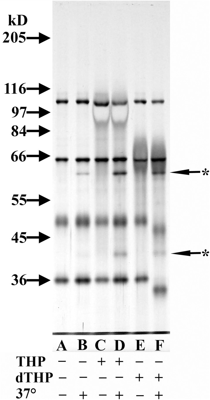 Analysis of cofactor activity in deglycosylated THP (dTHP). 8% SDS-PAGE silver-stained gel of ß-mercaptoethanol-reduced samples. All lanes were loaded with a mixture that contained 125 ng C3b and 150 ng CFI. Lanes C and D contained 3 μg THP while Lanes E and F contained what was estimated to be about 2 μg dTHP. Samples analyzed in Lanes B, D, and F were incubated at 37°C for 4 h while the other samples were not incubated at 37°C. Starred arrows indicate the degradation products of C3b.
