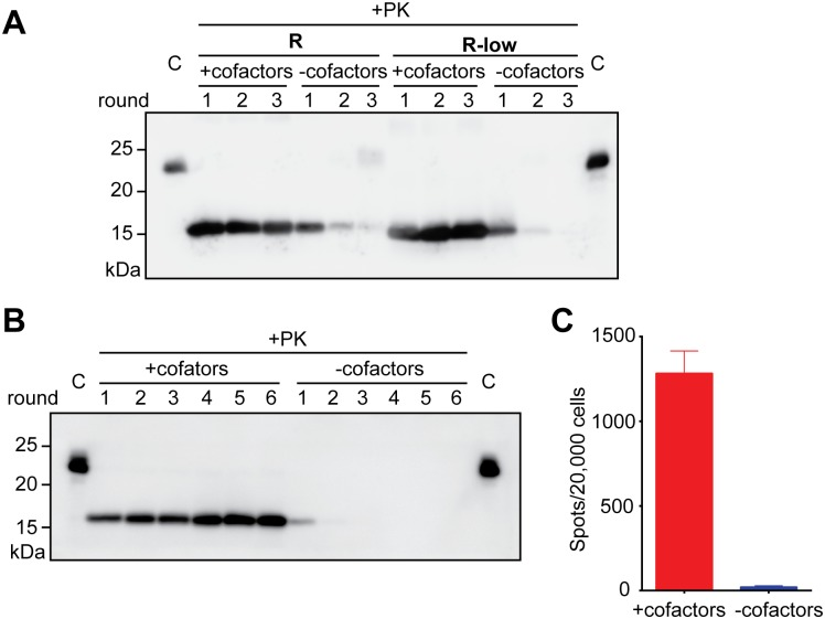 The propagation of both pathogenic rPrP-res RNA and non-pathogenic rPrP-res RNA-low is cofactor-dependent. ( A ) In seeded sPMCA reactions, rPrP-res RNA (R) or rPrP-res RNA-low (R-low) were added to complete substrates (+cofactors) and to substrates without any cofactor (-cofactors). The mixtures were subjected to 3 rounds of sPMCA as indicated. After each round, 10 μL of PMCA product was collected and subjected to PK digestion, SDS-PAGE, and western blotting. C: undigested rPrP as controls. ( B ) Six rounds of sPMCA seeded by rPrP-res RNA with (+cofactors) or without cofactors (-cofactors). After each round, 10 μL of PMCA product was collected and subjected to PK digestion, SDS-PAGE, and western blotting. C: rPrP as controls. ( C ) The Elispot cell infection assay of round-6 sPMCA products from panel B .