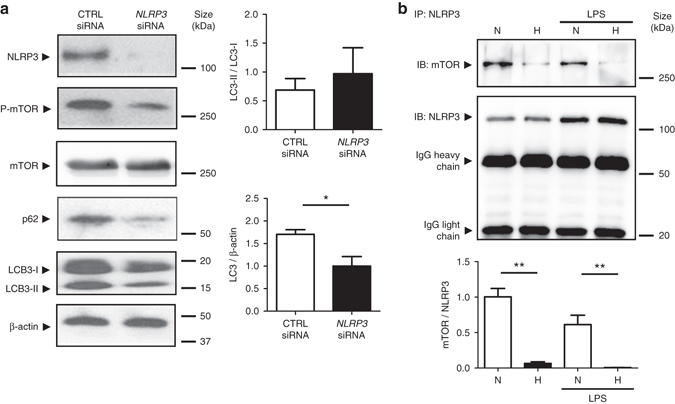 NLRP3 regulates autophagy through an inflammasome-independent mechanism via direct binding to mTOR. a HT-29 cells were transfected with NLRP3-specific siRNA or negative control siRNA using Lipofectamine RNAiMAX. Forty-eight hours after transfection, total protein was isolated and western blot performed. Quantification of the ratio of LC3-II/LC3-I and the total amount of LC3 (LC3-I plus LC3-II) relative to β-actin is presented. Statistical analysis was performed using Student t -test. Results represent mean + s.e.m. of three independent experiments, * P