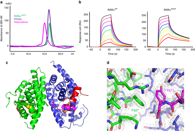 S427F mutation in RXRα stabilizes heterodimerization with PPARγ and promotes the agonistic conformation. a Sizing profile of RXRα S427F mutant ( green ), PPARγ ( purple ), and the heterodimer ( magenta ). Both RXRα S427F and PPARγ run as monomers. When mixed together in 1:1 stoichiometry, the elution profile shifts demonstrating formation of the heterodimer in the absence of ligand. b SPR demonstrating enhanced interaction between RXRα S427F mutant and PPARγ. RXRα was immobilized to the CM5 chip by amine coupling and PPARγ was injected in dose response from 3 μM to 24 nM with 60 s association phase and 120 s disassociation. c Overall crystal structure of the heterodimer complex of RXRα S427F mutant ( green ) and PPARγ ( blue ) with the co-activator peptide Src1 ( red ). The agonists 9-cis-retinoic acid and rosiglitazone are rendered as spheres. The AF-2 helix (Helix H12) of PPARγ has been highlighted in magenta . RXRα S427 and PPARγ Y477 are rendered as sticks and located in the dimer interface. d Zoom in of the heterodimer interface shows the S427F mutation of RXRα ( green ) introduces a π-stacking interaction with Y477 of PPARg ( blue ) at the C-terminus ( magenta ). The 2Fo–Fc electron density map is shown in gray and contoured at 1.2 s