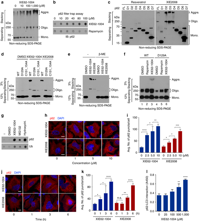 ZZ ligands induce self-polymerization and autophagy targeting of p62. a In vitro p62 oligomerization assay using HEK293 cell extracts expressing myc/His-tagged p62. After 2 h incubation of cell extracts with XIE62-1004 at room temperature, forms of p62 was detected by immunoblotting analysis using anti-Myc antibody following non-reducing SDS-PAGE. b In vitro filter trap assay of p62 using myc/His-tagged p62 expressed using the TnT lysate system. c In vitro oligomerization assay using myc/His tagged p62 deletion mutants, Forms of p62 were detected as described in a . d In vitro p62 oligomerization assay using myc/His-tagged p62 wild type and ZZ point mutants. e Similar to d except that in vitro p62 oligomerization assay was performed in the presence or absence of 50 mM β-mercaptoethanol. f In vivo p62 oligomerization assay using 1% Triton X-100 insoluble p62 (wild type and D129A mutant) expressed in HeLa cells treated with 5 μM XIE compounds for 24 h. g In vivo filter trap assay of 1% Triton X-100 insoluble p62. HeLa cells were treated with 10 μM XIE62-1004, 5 μM MG132 or 25 mM hydroxychloroquine for 16 h. h In vivo p62 puncta formation analysis employing immunocytochemistry. HeLa cells treated with XIE compounds for 12 h were stained for p62. Scale bar, 10 μm. i Quantification of h . Data are representative of three independent experiments, and values are expressed as the average number of p62 puncta per cell with the indicated S.D. Statistical significance was calculated using a one-way ANOVA test (* P