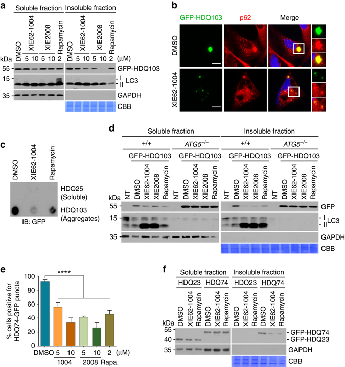 XIE62-1004 and XIE2008 accelerate autophagic clearance of mutant huntingtin protein aggregates (mHTT). a Stimulated degradation of GFP-HDQ103 induced by XIE compounds. HeLa cells transiently expressing GFP-HDQ103 were treated with XIE62-1004 (1004), XIE2008 or rapamycin for 18 h and fractionated into soluble and insoluble proteins in 1% Triton X100, followed by immunoblotting analysis. b Inhibition of inclusion body formation by XIE62-1004. HeLa cells expressing GFP-HDQ103 were treated with 10 μM XIE62-1004 for 18 h and analyzed by immunofluorescent analysis of GFP-HDQ103 and immunostaining of p62. c Inhibition of HDQ103 aggregate formation by XIE62-1004. HeLa cells transiently expressing GFP-HDQ25 or GFP-HDQ103 were treated with 10 μM XIE62-1004 or 2 μM rapamycin for 18 h, followed by filter trap analysis. d Facilitated autophagic clearance of HDQ103 aggregates by XIE compounds. Wild-type and ATG5 −/− MEFs transiently expressing GFP-HDQ103 were treated with 10 μM XIE62-1004 (1004), 10 μM XIE2008 (2008) or 2 μM rapamycin for 18 h, followed by soluble and insoluble fractionation and immunoblotting analyses. e Inhibition of HDQ74-GFP inclusion body formation by XIE compounds. Inducible PC12 cells stably expressing EGFP-HDQ74 (mutant Htt) were treated with 1 μg/ml doxycycline for 8 h followed by stimulation with XIE62-1004 (1004), XIE2008, or rapamycin for 18 h and subjected to fluorescence analysis of GFP. Average percentage of cells positive for HDQ74-GFP puncta was calculated by counting 100 cells per experimental condition in each experiment. Data represent the mean (±S.D.) of three independent experiments. Statistical significance was calculated using a one-way ANOVA test (**** P ≤ 0.0001). f Enhanced autophagic degradation of GFP-HDQ74 in XIE62-1004 stimulated PC12 cells. Inducible PC12 cells stably expressing EGFP-HDQ23 or EGFP-HDQ74 were treated with 10 μM XIE62-1004 or 2 μM rapamycin for 18 h following induction with 1 μg/ml doxycycline for 8 h and fractionate
