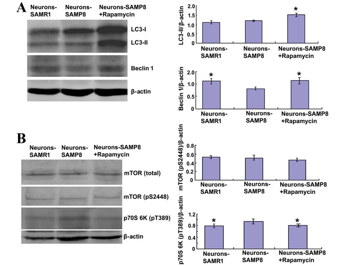 Rapamycin promoted autophagy by inhibiting mTOR signaling. (A) Rapamycin (0.5 µM) administration was able to significantly increase the protein expression levels of LC3-II and beclin 1 (both P