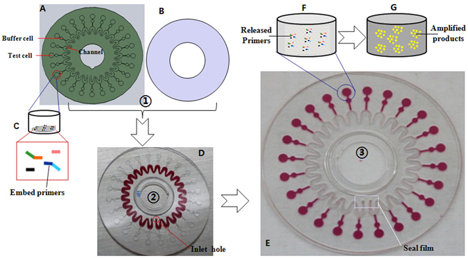 Structure of the microfluidic chip and method for the parallel identification of multiple pathogens. ( A ) Basement of the microfluidic chip. ( B ) Cover of the microfluidic chip. ( C ) Six primers embedded together at the bottom of one test cell using low melting point Sepharose CL-4B. ( D ) The mixture of the prepared DNA sample and isothermal nucleic acid amplification reactants is injected into the microfluidic chip via the inlet hole using a pipette. ( E ) The mixtures after being centrifuged at 5000 rpm. ( F ) Six primers released at > 50 °C. ( G ) The fluorescent marker EvaGreen bound to the amplified products as nucleic acid amplification occurred at 65 °C.