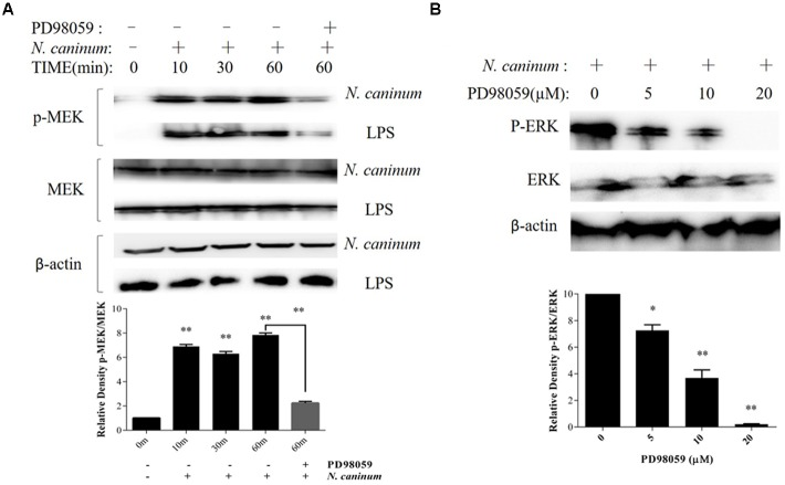 N. caninum infection induces ERK-MEK pathway activation of PMϕ. (A) PMϕ were infected with freshly purified N. caninum -1 tachyzoites (MOI = 10) or treated with LPS (50 ng/ml) for different times at 37°C. For the last lane, cell monolayers were treated with tachyzoites or LPS in the presence of PD98059 (20 μM) for 1 h. After treatments, cells were collected for determination of MEK1/2 phosphorylation at Ser217/221 and total MEK by Western blot. (B) After incubated with PD98059 (5–20 μM) or DMSO for 1 h, PMϕ were infected with tachyzoites at a MOI of 10 for 1 h at 37°C, followed by determination of ERK1/2 phosphorylation at Thr202/Tyr204 and total ERK. The intensities of phospho-ERK or MEK were calculated using ImageJ (NIH) and normalized against total ERK or MEK. Data represent the mean of 3 independent experiments ± SEM. ∗ P
