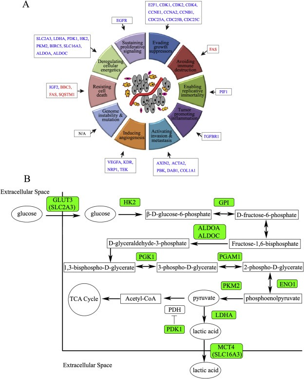 Effects of treatment of LTL‐313H xenografts with docetaxel + Aneustat on expression of cancer hallmark‐mediating genes as revealed via DNA microarray analysis. (A) Up‐regulated (red) and down‐regulated (blue) genes. (B) Down‐regulated (green) glycolysis‐associated genes. Additional information is presented in the Supplementary Table S2.