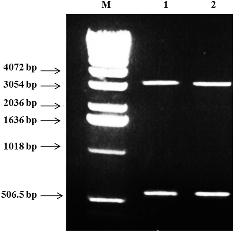 Agarose gel electrophoresis for miniprep samples of the recombinant PQE 30/ NS2 plasmid/Gel.NPs double digested ( SphI / HindIII ) showing two bands; band for NS2 insert (650 bp) and band for pQE-30 vector (3.4 kb) in Lane 1 and 2. Lane M: 1 kb DNA marker.