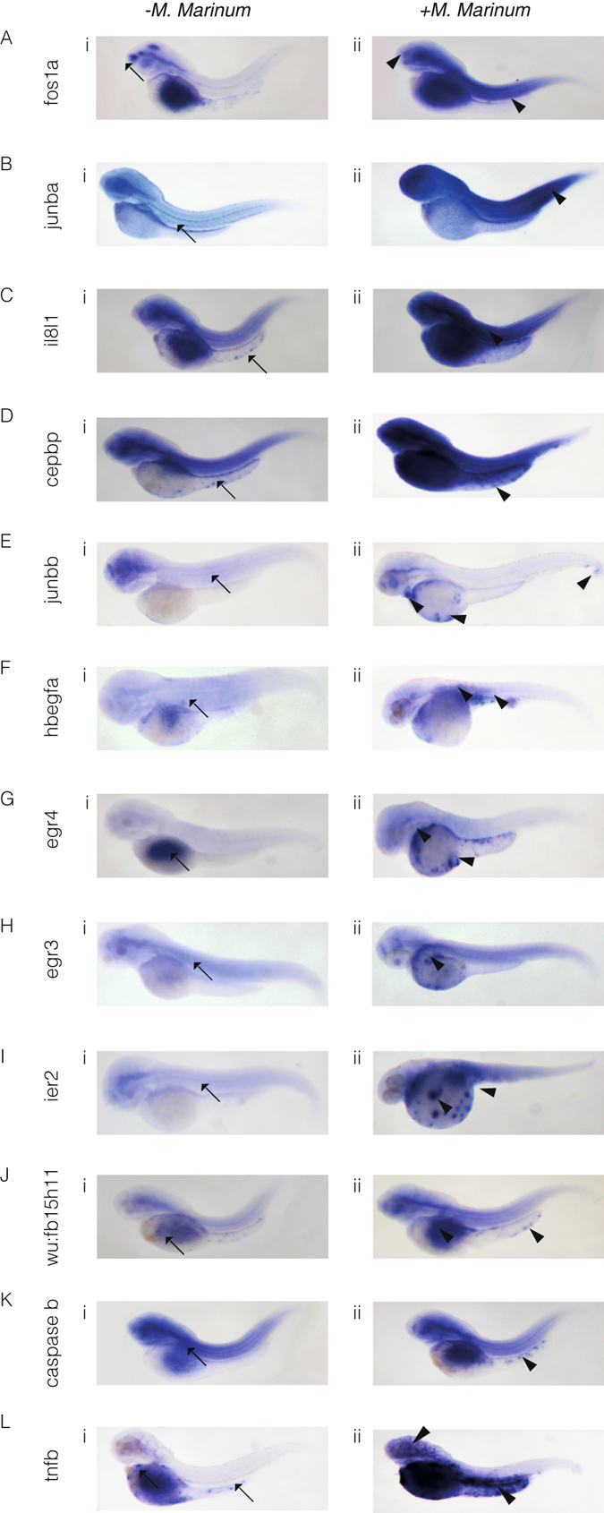 In situ hybridisation reveals spatial analysis of M . marinum -induced upregulated genes. Embryos were injected at the 32-512-cell stage with M . marinum . Expression patterns and gene transcript levels were analysed by in situ hybridisation using digoxigenin-labelled RNA probes, in uninjected controls ( A – Li ) and M . marinum -injected embryos ( A – Lii ). Control expression patterns are indicated by the black arrows with black arrowheads used to indicate altered expression patterns for fos1a ( A ), junba ( B ), il81a ( C ), cepbp ( D ), junbb ( E ), hbegfa ( F ), egr4 ( G ), egr3 ( H ), ier2 ( I ), wu:fb15h11 ( J ), caspase b ( K ) and tnfb ( L ).