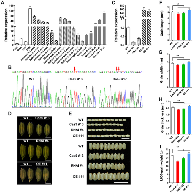 Phenotype with Overexpression and Repression of OsFH15 . ( A ) qRT-PCR analysis of OsFH15 expression pattern in various tissues. ( B ) SANGER sequencing chromatography showing the mutations in Osfh15 mutant. ( C ) qRT-PCR analysis of OsFH15 expression from 14 d-old seedling in wild-type and transgenic plants, UBQ5 as control. ( D ) Spikelets of WT, Cas9 #13, RNAi #4 and OE #11 before heading. Bar = 5 mm. ( E ) Grains of WT, Cas9 #13, RNAi #4 and OE #11. Bar = 1 cm. ( F ) to ( I ) Grain length ( F ), Grain width ( G ) and Grain thickness ( H ) were determined by vernier depth. 1,000-grain weight ( I ) was weighed. Data are represented as mean ± SEM (n ≥ 100 in F-H, n = 15 in I). *P