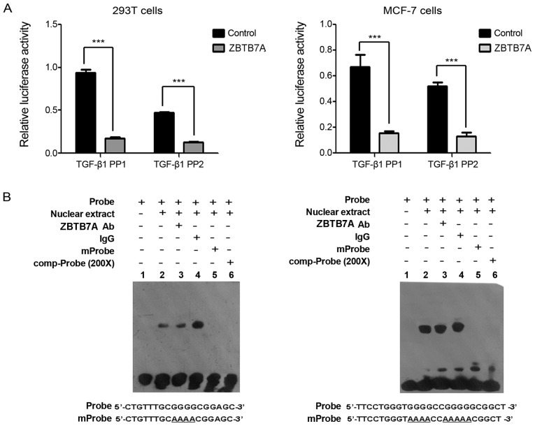 ZBTB7A suppresses the promoter activity of TGF-β1 indirectly. (A) ZBTB7A inhibited the promoter activity of TGF-β1. MCF-7 and 293T cells were co-transfected with plasmids of ZBTB7A, PGL4.10-TGF-β1 PP1 or PGL4.10-TGF-β1 PP2, and Renilla . Subsequently, the cells were harvested and subjected to a dual-luciferase reporter assay. (B) Direct binding analysis between ZBTB7A and promoter sequences of TGF-β1 in MCF-7 cells. An electrophoretic mobility shift assay was performed. IgG was used as a negative control. Data are presented as the mean ± standard deviation following three independent experiments. ***P