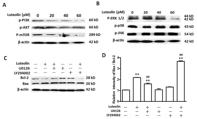 Luteolin inhibits the activation of the PI3K and MAPK signaling pathways in BGC-823 cells. Cells were seeded in 60-mm plates and cultured to 80–90% confluence. The cells were then treated with various doses of luteolin (20, 40 and 60 µM) for 48 h. Cells treated with dimethyl sulfoxide alone were used as the control. (A) Luteolin inhibited the PI3K signaling pathway in BGC-823 cells. Cells were treated as described above, and the cell extracts were subjected to immunoblot analysis using anti-p-PI3K, anti-p-AKT, anti-p-mTOR and anti-β-actin antibodies. (B) Effect of luteolin on ERK1/2, p38 and JNK pathways. Cells were treated as described above, and the cell extracts were subjected to immunoblotting using anti-p-ERK, anti-p-p38, anti-p-JNK and anti-β-actin antibodies. (C) Effects of luteolin on the Bcl-2 and Bax in BGC-823 cells. Cells were treated as described above, and the cell extracts were subjected to immunoblotting using anti-p-ERK, anti-Bcl-2, anti-Bax and anti-β-actin antibodies. (D) The relative intensity of Bax/Bcl-2. Values are the mean ± standard deviation. The data were analyzed by one-way analysis of variance. **The control group vs. all the other groups (P