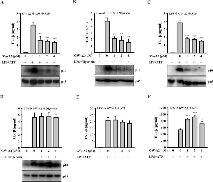 Effects of GW-A2 on NLRP3 inflammasome activation. ( A and B ) J774A.1 macrophages were incubated for 30 min with or without 2 μM of GW-A2, for 5.5 h with or without 0.1 μg/ml of E . coli LPS, and then for 30 min with or without 5 mM of ATP ( A ) or 10 μM of nigericin ( B ). The levels of IL-1β in the culture medium and activated caspase-1 (p10) in the cells were measured by ELISA and Western blotting, respectively. ( C — F ) J774A.1 macrophages were incubated for 5.5 h with 0.1 μg/ml of E . coli LPS, for 30 min with or without 2 μM of GW-A2, and then for 30 min with or without 5 mM of ATP ( C and E ), 10 μM of nigericin ( D ) or 100 μg/ml of MSU ( F ). The levels of IL-1β and TNF-α in the culture medium and activated caspase-1 (p10) in the cells were measured by ELISA and Western blotting, respectively. The data are expressed as the mean ± SD of three independent experiments. The Western blotting results shown are a representative experiment of three independent experiments. *, ** and *** indicate significant differences, representing p