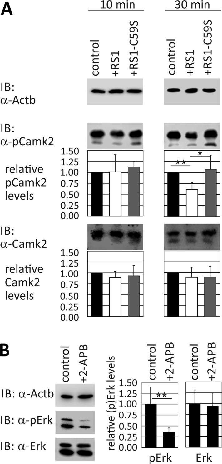 Effect of retinoschisin on Ca 2+ signaling. (A) Rs1h -/Y retinal explants were treated for 10 and 30 min with retinoschisin, RS1-C59S, or control protein. After treatment, the cells were subjected to Western blot analyses with antibodies against phosphorylated Camk2 (pCamk2), total Camk2, and Actb as control. Densitometric quantification was performed with immunoblots from five independent experiments. Signals for pCamk2 and Camk2 were normalized against Actb and calibrated against the control. Data represent mean ± SD. (B) Rs1h -/Y retinal explants were treated for 30 min with Ca 2+ signaling (IP3 receptor) inhibitor 2-APB. To assess an effect of the Ca 2+ pathway on Erk1/2 activation, the cells were subjected to Western blot analyses with antibodies against phosphorylated Erk1 and Erk2 (pErk1/2), total Erk1 and Erk2 (Erk1/2), and Actb as control. Underlined asterisk marks statistically significant ( p