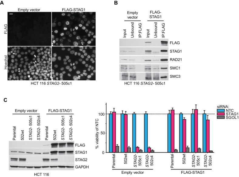 Rescue of the synthetic lethal interaction between STAG1 and STAG2 by expression of an siRNA-resistant FLAG-STAG1 transgene. HCT 116 parental cells, a STAG2 wild-type clone (502wt), and two STAG2- clones (505c1 and 502c4) were transduced with a lentivirus encoding no transgene (empty vector) or an siRNA-resistant and 3xFLAG-tagged STAG1 transgene (FLAG-STAG1). Stably selected cell pools were used for the analysis. ( A ) Immunofluorescence analysis of FLAG-STAG1 transgene expression and nuclear localization in HCT 116 STAG2- 505c1 cells. Scale bar, 20 μm. ( B ) Protein extracts prepared from HCT 116 STAG2- 505c1 cells expressing no transgene (empty vector) or a FLAG-STAG1 transgene were subjected to anti-FLAG immunoprecipitation. The input, unbound and precipitated fractions were analyzed by immunoblotting. Co-precipitation of cohesin subunits was only detected in FLAG-STAG1 expressing cells indicating specific incorporation of the transgenic protein into the cohesin complex. ( C ) Protein extracts prepared from the indicated cell lines that were transduced with an empty vector or a FLAG-STAG1 transgene were analyzed by immunoblotting (left panel) and transfected with NTC, STAG1 and SGOL1 siRNA duplexes (right panel). Cell viability was measured 7 days after transfection and is plotted normalized to the viability of NTC siRNA transfected cells (n ≥ 5 biological repeats, error bars denote standard deviation). DOI: http://dx.doi.org/10.7554/eLife.26980.005