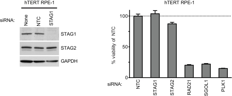 Depletion of STAG1 does not reduce viability in hTERT RPE-1 cells. Human telomerase-immortalized retinal pigment epithelial cells (hTERT RPE-1) were transfected with the indicated siRNA duplexes. Protein extracts were prepared 4 days after transfection and analyzed by immunoblotting (left panel). Cell viability was determined 5 days after transfection and is plotted normalized to the cell viability of NTC siRNA-transfected cells (n = 2 independent experiments with 3 biological replicates each, error bars denote standard deviation). DOI: http://dx.doi.org/10.7554/eLife.26980.008