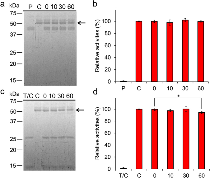 Functional stability of chicken Chia against gastrointestinal proteases. Purified Chia was incubated at 37 °C for 0, 10, 30, and 60 min under stomach-like ( a , b ) or intestine-like ( c , d ) environment in the presence of pepsin or trypsin and chymotrypsin at equal mass concentration of Chia. The samples were analyzed by SDS-PAGE and following ( a , c ) SYPRO Ruby staining, ( b , d ) chitinolytic activities. C, purified enzyme only; P, pepsin only; T/C, trypsin and chymotrypsin only; numbers, incubation time. Values in ( b , d ) represent mean ± SD conducted in triplicate. *p