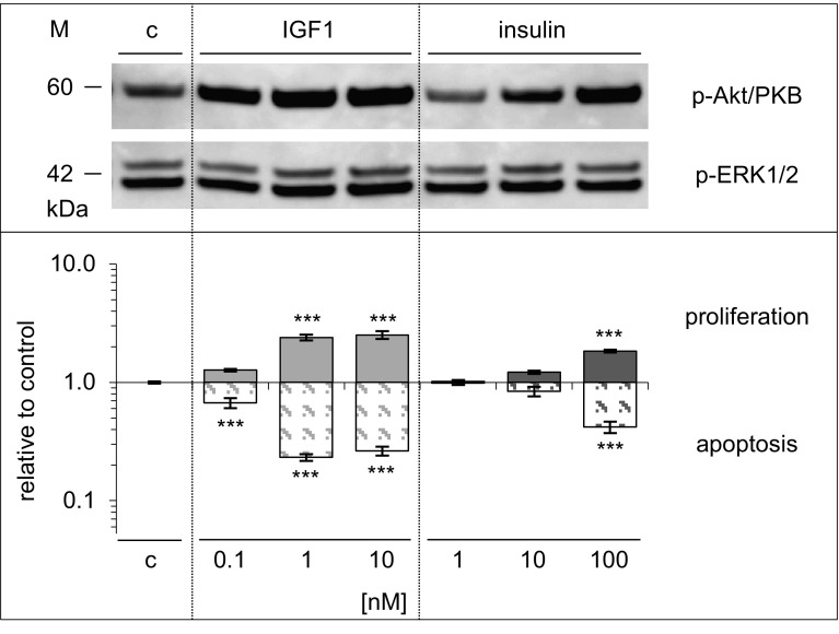 Dose-dependent effects of IGF1 and insulin on signalling, proliferation, and apoptosis in A549 cells. Cells were exposed to IGF1 or insulin as described for Figs. 2 and 4 , and data are shown as in Fig. 8 for Saos-2/B10 cells. Top panel Western blot showing <t>p-Akt/PKB,</t> p-ERK1/2, bottom panel stimulation of DNA synthesis ( n = 7 in triplicate) and inhibition of apoptosis ( n = 2 in triplicate), expressed relative to control ( log scale ). c denotes control, *** p