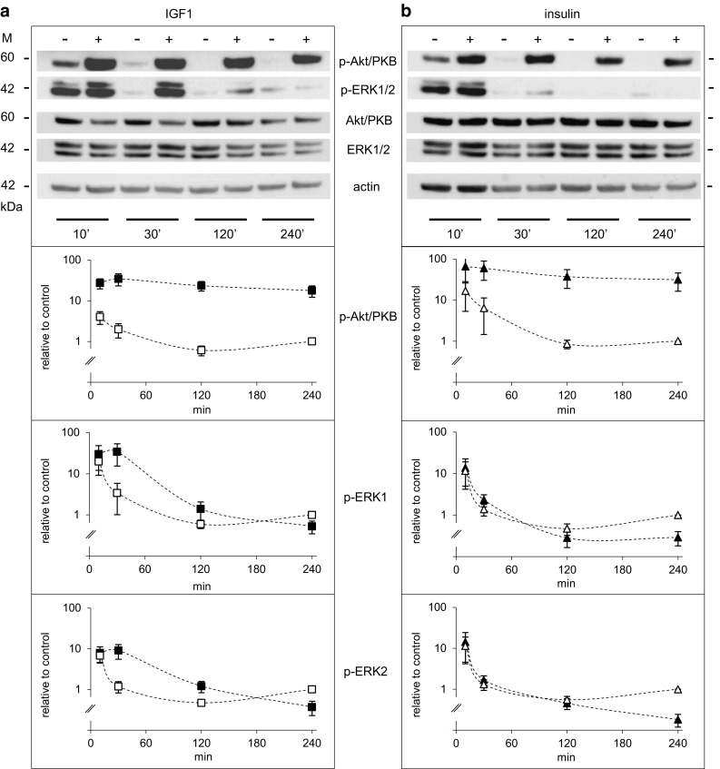Time-dependent activation of Akt/PKB and ERK1/2 by IGF1 and insulin in Saos-2/B10 cells. Representative Western blots are shown on top ; quantification of signals from at least four independent experiments below. Abundance of p-Akt/PKB and p-ERK1/2 is shown relative to control (4 h). Cells were exposed to vehicle ( empty symbols ), to 1 nmol/l IGF1 ( filled squares ) or to 100 nmol/l insulin ( filled triangles ) as outlined in Fig. 1 b, and incubations were stopped after 10, 30, 120, and 240 min