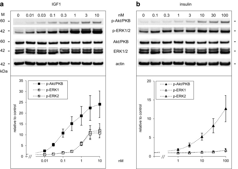Dose-dependent activation of Akt/PKB and ERK1/2 by IGF1 and insulin in Saos-2/B10 cells. Cells were exposed to IGF1 ( a ) and insulin ( b ) for 30 min as described in Fig. 1 b (common start). Representative Western blots are shown on top , below quantification of at least four independent experiments. Abundance of p-Akt/PKB and p-ERK1/2 is expressed relative to control