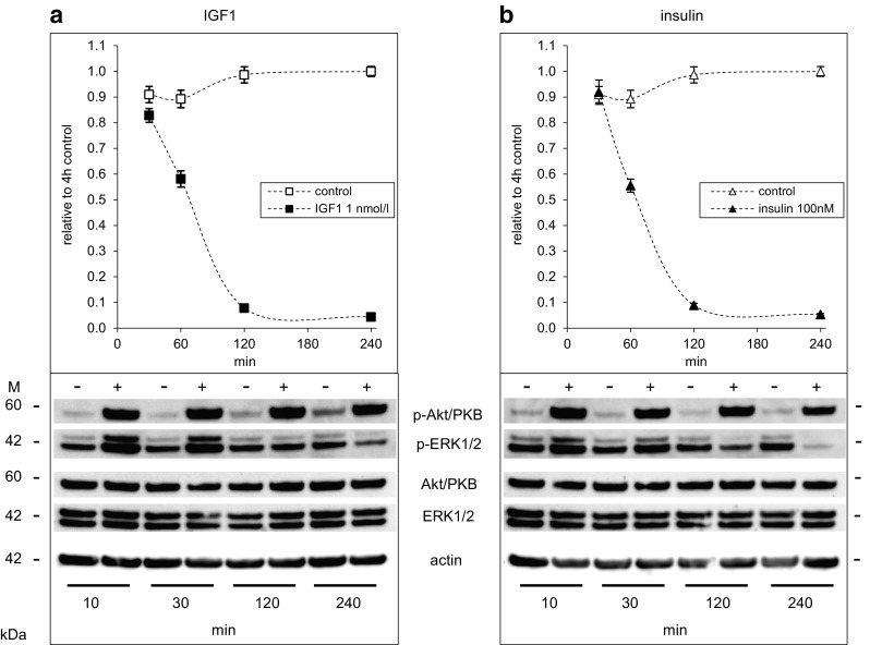 Time-dependent inhibition of apoptosis and activation of signalling by IGF1 and insulin in Saos-2/B10 cells. Cells were cultured in serum-free media for the last 4 h as shown in Fig. 1 a (common stop). IGF1 ( a , 1 nmol/l) or insulin ( b , 100 nmol/l) was added to the media 30 min, 1 h, 2 h, or 4 h prior to stop. Apoptosis is shown at the top (expressed relative to 4 h control; n = 5), representative Western blots in lower panels
