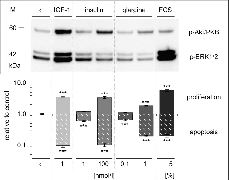Effects of IGF1, insulin, glargine, and FCS compared in Saos-2/B10 cells. Cells were exposed to IGF1, insulin, glargine, or FCS as described for Figs. 2 and 4 . Top panel Western blot showing p-Akt/PKB, p-ERK1/2, bottom panel stimulation of DNA synthesis and inhibition of apoptosis, expressed relative to control ( log scale ), n = 7. c denotes control, *** p