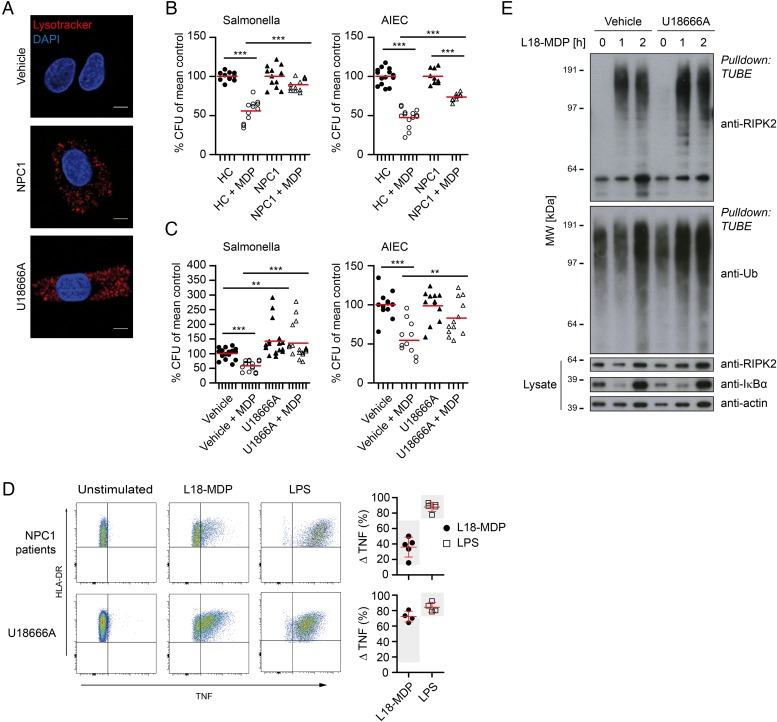 Niemann–Pick disease type C1 (NPC1) lysosomal lipid storage disease causes ineffective pathogen clearance despite functional cytokine pathways. (A) Lysosomal lipid storage phenotype in vehicle-treated, U18666A-treated and primary NPC1 monocyte-derived macrophages (MDM). Scale bar, 5 µm. (B) Bacterial killing assay with healthy (n=4–5) and NPC1 patient (n=3–4) MDM and infected with Salmonella typhimurium (left) or adherent-invasive Escherichia coli (AIEC) (right). Individual results are shown as indicated by ticks on x-axes. For each donor, conditions were tested in three parallel infection experiments and colony-forming units (CFU) were normalised to individual CFU without muramyl dipeptide (MDP) stimulation. Red bar represents mean. (C) Cells were assayed as in (B). MDM treated with or without U18666A and MDP pre-stimulation were exposed to S. typhimurium (left, n=4) or AIEC (right, n=4). (D) Representative flow cytometry plots and quantification of tumour necrosis factor (TNF) response in primary NPC1 (n=5) or U18666A-treated (n=4) HLA-DR + CD14 + monocytes following NOD2 or TLR4 stimulation. Mean±SD, grey background indicates normal range calculated from all measured healthy donors. (E) Purification of endogenous ubiquitin (Ub) conjugates using tandem ubiquitin binding entities (TUBE) in lysates of U18666A-treated and control MDM. Purified material and lysate was examined by immunoblotting for indicated proteins. p Values were throughout calculated using Mann–Whitney U test. *p