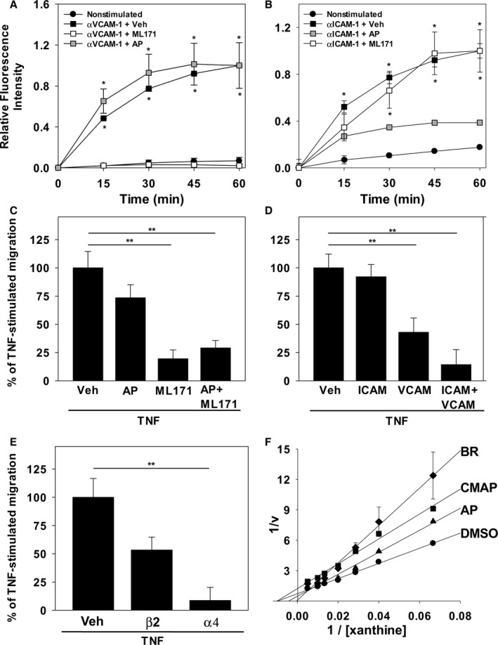 Nox and  XO  inhibitors and antibodies against  VCAM ‐1 and  ICAM ‐1 recapitulate the effect of bilirubin on endothelial  ROS  generation and monocyte transmigration.  ROS  production by  TNF ‐α‐stimulated  HUVEC  monolayers was assessed by monitoring dihydrorhodamine fluorescence following activation of  VCAM ‐1 (α VCAM ‐1) or  ICAM ‐1 (α ICAM ‐1), as described in Figure  5 . A and B, Time‐dependent changes in fluorescence intensity following  VCAM ‐1 (A) or  ICAM ‐1 (B) activation (squares), in the absence (black symbols) or presence of 10μmol/L of  ML 171 (white symbols), or 40μmol/L of allopurinol ( AP ; gray symbols). Curves reflect mean fluorescence intensity (±SEM) expressed relative to maximal activation at 60minutes (n=3 sets of experiments). C, Compares the effect of the  DMSO  vehicle (Veh), 40μmol/L of  AP , and/or 10μmol/L of  ML 171 on  THP ‐1 cell migration across  HUVEC  monolayers, as described in Figure  2  (n=4 sets of experiments). D and E, Results of analogous studies examining  THP ‐1 migration in the presence or absence of antibodies against  ICAM ‐1 ( ICAM ; 10μg/mL),  VCAM ‐1 ( VCAM ; 10μg/mL), β 2  (5μg/mL), and/or α 4  (20μg/mL). F, Lineweaver–Burk plot of H 2 O 2  produced by isolated XO in the presence of 50μmol/L of bilirubin ( BR ; diamonds; K i =3.4μmol/L), 30μmol/L of the competitive inhibitor, AP (triangles; K i =6.7μmol/L), 30μmol/L of the noncompetitive inhibitor, 2‐chloro‐6(methylamino) purine ( CMAP ; squares; K i =4.7μmol/L), or the  DMSO  vehicle (circles). Data reflect the mean (±SEM) of 3 sets of experiments. * P