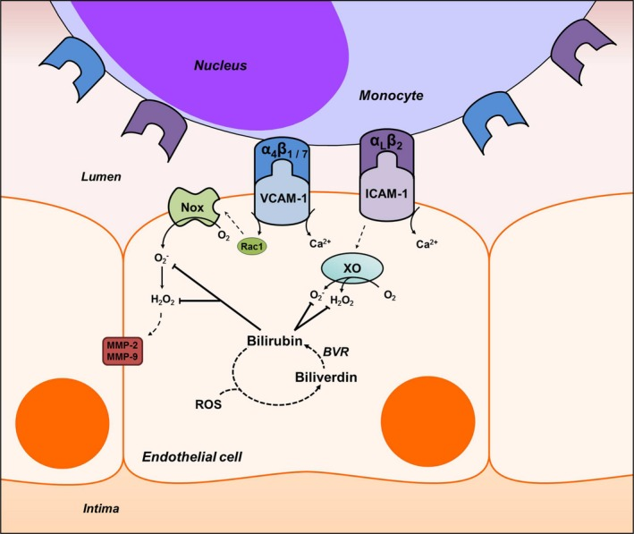 Proposed mechanism of bilirubin modulation of VCAM ‐1‐ and ICAM ‐1‐dependent monocyte migration. Ligation of VCAM ‐1 and ICAM ‐1 with their corresponding integrins, α 4 β 1 /α 4 β 7 and α L β 2 , leads to Rac‐1‐ and calcium (Ca 2+ )‐dependent activation of NADPH oxidase (Nox) and xanthine oxidase ( XO ). These enzymes generate the reactive oxygen species ( ROS ), superoxide (O 2 ˙ − ) and hydrogen peroxide (H 2 O 2 ), that comprise a signaling cascade, which leads to activation of matrix metalloproteinases ( MMP )‐2 and ‐9 and disruption of endothelial tight junctions. Bilirubin, a potent antioxidant that undergoes intracellular redox cycling (dashed lines) through action of biliverdin reductase ( BVR ), scavenges Nox‐ and XO ‐derived ROS , thereby inhibiting leukocyte migration. ICAM‐1 indicates intercellular adhesion molecule 1; Rac1, Ras‐related C3 botulinum toxin substrate 1; VCAM‐1, vascular cell adhesion molecule 1.