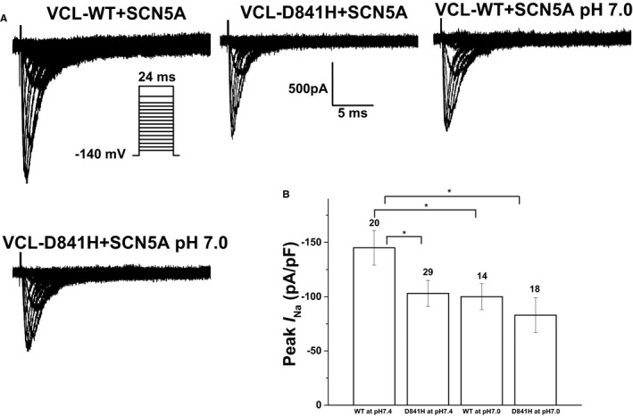 Electrophysiological properties of cardiac sodium channel (SCN5A) in HEK 293 cells coexpressing SCN 5A and either wild‐type vinculin ( VCL ‐ WT ) or VCL ‐D841H. A, Representative whole‐cell current traces showing peak sodium current ( I N a ) under both normal ( pH 7.4) and acidosis ( pH 7.0) conditions in HEK 293 cells expressing SCN 5A and either WT or variant VCL ‐D841H. B, Summary data of peak I N a densities from every group. The number of tested cells is indicated above the bar. * P