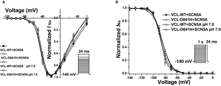 Voltage‐dependent gating for cardiac sodium channel ( SCN 5A) coexpressed with vinculin ( VCL ) in HEK 293 cells. A, Between each group, no significant difference in activation of SCN5A was observed. B, Under pH 7.0, D841H showed a significant repolarizing shift by 3.0 mV in inactivation of SCN5A compared to WT at pH 7.4.
