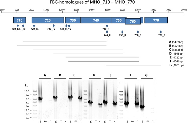 <t>RT-PCR</t> analysis of the postulated ABC transporter genes 730–760. The positions of the different amplicons are shown below the scheme of the <t>MHO_710–770</t> gene region. The primers used ( Table 1 ) and the lengths of the amplicons (A-G) are indicated. PCR products (A–G) for genomic DNA (g), mRNA (m) and cDNA (c) were separated on a 0.6% agarose gel and stained with ethidium bromide. M, Gene Ruler 1 kb DNA ladder (Fermentas).