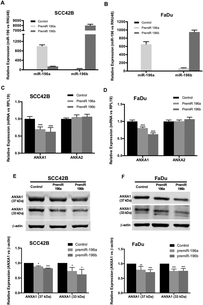 miR-196a and miR-196b specifically targeted ANXA1 expression in HNSCC-derived cell lines. miR-196a and miR-196b expression levels were quantified by RT-qPCR in SCC42B ( A ) and FaDu ( B ) cells transfected with either premiR-196a, premiR-196b or non-targeting control. Data were normalized to RNU48 levels and relative to control-transfected cells. mRNA expression levels of ANXA1 and ANXA2 were measured by qRT-PCR in SCC42B ( C ), and FaDu ( D ) after 72 h transfection with either premiR-196a, premiR-196b or non-targeting control. Data were normalized to RPL19 levels and relative to control-transfected cells. The graphs represent the mean ± SD, calculated from at least three independent experiments performed in triplicate. ANXA1 protein expression was analyzed by Western blot in SCC42B ( E ) and FaDu ( F ) cells after 72 h transfection with either premiR-196a, premiR-196b or non-targeting control. The graphs represent the mean ± SD, calculated from at least three independent experiments. *p