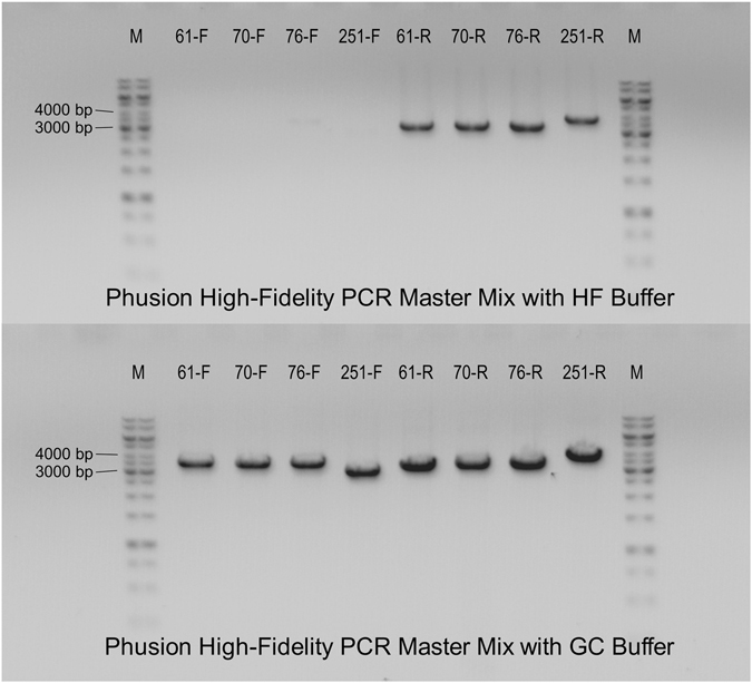 Agarose gel electrophoresis analysis of <t>PCR</t> fragments multiplied by <t>Phusion</t> High-Fidelity PCR Master Mix with HF Buffer and Phusion High-Fidelity PCR Master Mix with GC Buffer. Analysed PCRs are labelled as the mutated residue and the letter indicating whether the fragment is multiplied by mutation-specific forward (F) or reverse (R) primer. Expected PCR fragments are between 3000 and 4000 bp long. While using the PCR master mix with GC buffer gave expected fragments in all shown cases, using the Phusion High-Fidelity polymerase with HF buffer failed to multiply four fragments.
