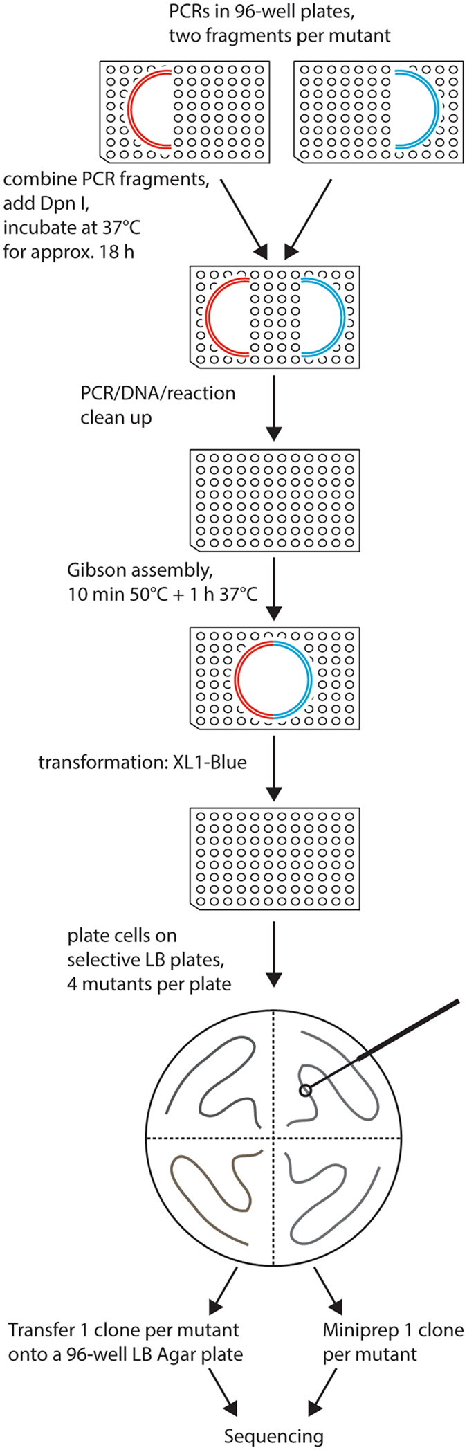 Overview of the mutagenesis technique. Two PCR reactions are done per mutant, in each of them approximately half of the vector is amplified. Two fragments containing one mutation are combined, followed by DpnI digestion at 37 °C overnight. Reaction clean-up is performed to purify DNA fragments, which are then assembled by Gibson assembly reaction. Bacteria are transformed with the resulting circular plasmid and plated on selective LB agar plates. One clone per mutant is sent for sequencing either on a selective LB agar 96-well plate or as purified DNA. All steps excluding the plating of the bacteria are done in 96-well plates.