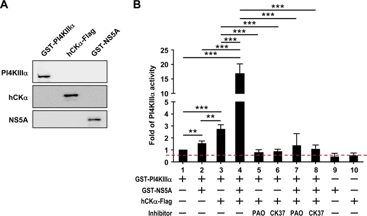 Upregulation of PI4KIIIα activity in vitro by hCKα. (A) Thirty nanograms each of recombinant PI4KIIIα, hCKα, and NS5A proteins was analyzed by Western blotting using rabbit anti-PI4KIIIα, rabbit anti-hCKα, and an anti-NS5A MAb, respectively. (B) The in vitro activity of purified recombinant PI4KIIIα was assayed in the presence or absence of recombinant NS5A, hCKα, and/or inhibitors in an ADP-Glo kinase assay as indicated. Kinase activity, monitored as the conversion of ATP to ADP under different experimental conditions relative to that detected in PI4KIIIα alone, which was arbitrarily set at a value of 1, was expressed as the fold change in luciferase activity. The dashed red line indicates the threshold for this in vitro kinase assay. The data shown are the quantitated results from four independent experiments. **, P