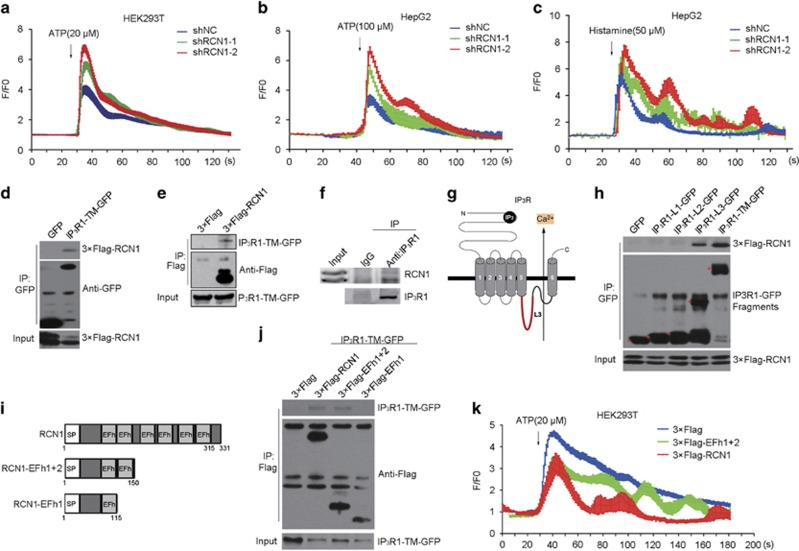 RCN1 interacts with IP 3 R1 and inhibits ER calcium release. ( a ) Representative Ca 2+ traces of cytosolic Ca 2+ after treatment with ATP (20 μ m ) in negative control (shNC) or RCN1 shRNA-transfected (shRCN1) HEK293T cells. ( b and c ) Representative Ca 2+ traces of cytosolic Ca 2+ after treatment with ATP (100 μ m ) ( b ) or histamine (50 μ m ) ( c ) in negative control or RCN1-knockdown HepG2 cells. ( d ) HEK293T cells co-transfected with 3 × Flag-RCN1 and GFP or IP 3 R1-TM (transmembrane domain)-GFP were subjected to immunoprecipitation (IP) using anti-GFP antibody. The immunoprecipitates were immunoblotted with anti-Flag or anti-GFP antibody. ( e ) HEK293T cells co-transfected with IP 3 R1-TM-GFP and 3 × Flag or 3 × Flag-RCN1 were subjected to immunoprecipitation using anti-Flag antibody. The immunoprecipitates were immunoblotted with anti-Flag or anti-GFP antibody. ( f ) HepG2 cells were subjected to immunoprecipitation using anti-IP 3 R1 antibody. The immunoprecipitates were immunoblotted with anti-RCN1 or anti-IP 3 R1 antibody. ( g ) Schematic of IP 3 R1 structure. ( h ) Mapping of the domains of IP 3 R1 required for interaction with RCN1. HEK293T cells co-overexpressing GFP-tagged IP 3 R1 truncations (IP 3 R1-L1-GFP, IP 3 R1-L2-GFP, IP 3 R1-L3-GFP) and 3 × Flag-RCN1 were subjected to immunoprecipitation with anti-GFP antibody. The immunoprecipitates were immunoblotted with anti-Flag or anti-GFP antibody. ( i ) Schematic of RCN1 truncation constructs. SP, signal peptide; EFh, EF-hand. ( j ) HEK293T cells co-transfected with IP 3 R1-TM-GFP and 3 × Flag, 3 × Flag-RCN1, 3 × Flag-RCN1-EFh1+2, or 3 × Flag-RCN1-EFh1 were subjected to immunoprecipitation using anti-Flag antibody. The immunoprecipitates were immunoblotted with anti-Flag or anti-GFP antibody. ( k ) Basal Ca 2+ level tracked by fluo-4 in ATP-treated HEK293T cells transfected with control, 3 × Flag-RCN1 or 3 × Flag-EFh1+2. Representative Ca 2+ traces of cytosolic Ca 2+ after treatment with ATP (100 μ 