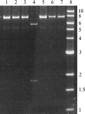 <t>Xho</t> I digests of miniprep <t>DNA.</t> Each DNA sample was digested with Xho I and electrophoresed on a 0.8% agarose gel. Lanes 1–7 represent various transformants. Lane 8 is a 1 kb ladder