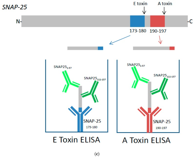 Dose dependent detection of cleaved SNAP-25 specific for ( a ) Botulinum toxins (BoNT)/A and ( b ) BoNT/E toxins. SiMa cells were differentiated for 3 days on <t>96-well</t> tissue culture plates and treated with either purified BoNT/A or BoNT/E toxins in a range of concentrations between 1–1280 LD50/mL (~5 pg/mL to ~5 ng/mL). After 48 h exposure, cells were lysed and subjected to toxin specific capture <t>ELISA</t> for detection of either BoNT/A ( a ) or BoNT/E ( b ) cleaved SNAP-25. Dotted line indicates controls where cells were not exposed to toxins. Results are from one typical assay performed on at least three independent occasions and each data set is a mean from four individual wells ±SD. ( c ) Schematic overview of capture ELISA for BoNT/A and BoNT/E: BoNT/A cleaves SNAP-25 between amino acids 197 and 198 and the cleavage product is captured using a specific neo-epitope antibody raised against a peptide corresponding to amino acids 190–197 of SNAP-25 (SNAP-25 190–197 ). BoNT/E cleaves SNAP-25 between amino acids 180 and 181 and the cleavage product is captured using a specific neo-epitope antibody raised against a peptide corresponding to amino acids 173–180 of SNAP-25 (SNAP-25 173–180 ). The captured cleavage product is then detected using two polyclonal detection antibodies that bind to two distinct sites, SNAP-25 1–57 and SNAP-25 111–157 .
