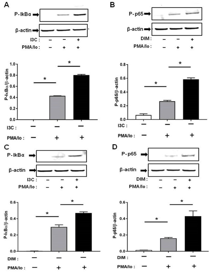 Effects of I3C, DIM on Nuclear Factor κB (NF-κB) activation in Jurkat cells. Jurkat cells were treated with 50 μM of I3C or 10 μM of DIM for 48 h and then stimulated with PMA + ionomycin for 10 or 30 min. Cells were harvested for protein. ( A , C ) Phosphorylation levels of Iκ-Bα (ser32); and ( B , D ) Phosphorylation levels of Nuclear Factor κB-p65 (NF-κB-p65) (ser536) were determined by western blot analysis. Protein expression was normalized to levels of housekeeping gene (β-actin). The inset shows representative Western blots. * indicates significantly different from control at p